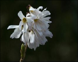 Ce petit arbuste étalé vire souvent au pourpre, en automne. Ses fleurs à 4 pétales, blanches sont égayées par leur centre orangé. Les courtes grappes dégagent un délicat parfum. L'un des rares arbustes fleurissant en fin d'hiver : le Forsythia blanc de Corée, ou :
