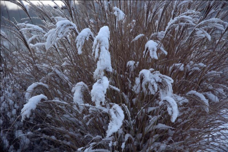 Cette graminée, à port ample et arqué, se distingue par un feuillage à bandes horizontales crème ou jaune pâle. Les épillets blancs, duveteux se dressent en fin d'été ou en début d'automne. Quel est son nom ?