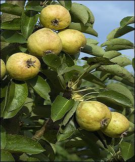 """Vous reconnaissez un poirier portant la variété """"Blanquette"""". D'où est originaire cet arbre appartenant à la famille des Rosaceae ?"""