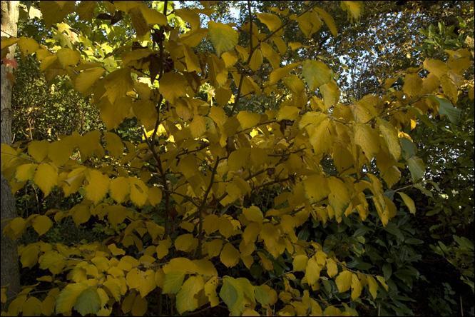 """C'est un arbuste à feuilles vert vif, virant à l'orangé, à l'automne. Il porte de nombreuses grandes fleurs soufre, réunies en bouquets, au cœur de l'hiver. Hamamelis intermedia """"Pallida"""", vous offrira ce magnifique feuillage. Quel autre nom porte-t-il ?"""