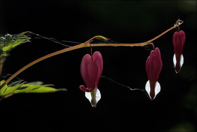 Elle porte des noms charmants : Cœur de Marie, Cœur saignant, Cœur de Jeannette. Son feuillage est délicat et ses fleurs peuvent être blanches, roses et blanches, rouges. Lors de quelle fête étaient-elles offertes durant un temps ?