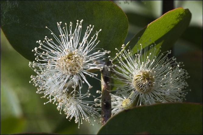 """Eucalyptus cinerea """"est un gommier persistant de taille modeste. Il prend un port tortueux assez pittoresque, les branches les plus basses pouvant traîner jusqu'au sol. Son écorce persistante est épaisse, rugueuse, cannelée et fibreuse, gris-terne ou orange-acajou. Quelle est la caractéristique du """"Pendula"""" ?"""