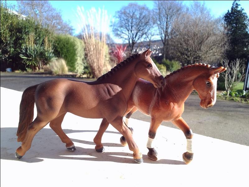 Sur la photo ci-dessous, les chevaux sont de quelle race ?