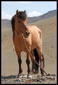 Quelle est la race de ce petit cheval ?
