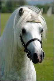 Quelle est la race de ce petit poney ?