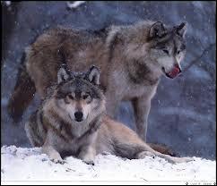Quelle est la période des amours pour les loups ?