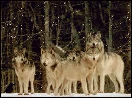 Le loup est-il une espèce protégée en ce moment ?
