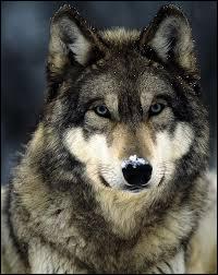 Les loups peuvent poursuivre une proie pendant 20 minutes !