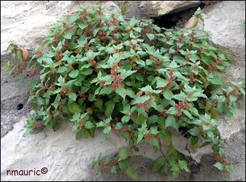 Comment s'appelle cette plante qui, comme l'origine de son nom l'indique, pousse sur les endroits rocheux ?