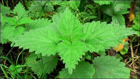 Comment s'appelle cette plante très urticante, que certains chefs cuisinent ?