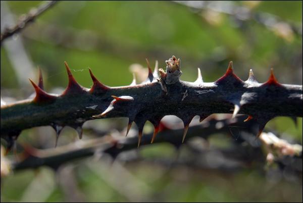 Comment s'appelle cette plante couverte d'épines qui se replante toute seule ?