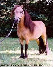 Quelle est la plus petite race de chevaux ?
