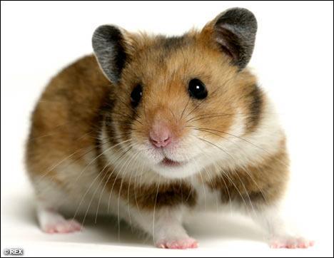 Comment dit-on hamster ?