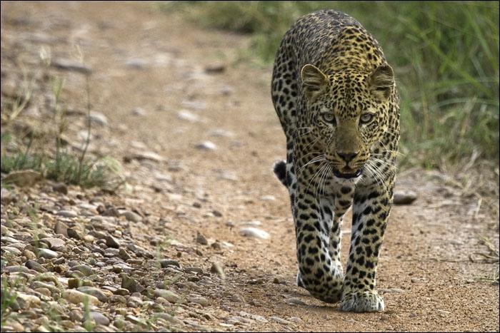 Quel joueur de football, ancien de l'AS Saint-Etienne, fut surnommé du nom de cet animal ?