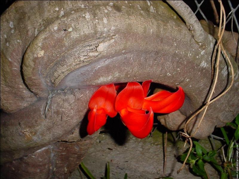 La griffe du diable ou liane de jade rouge a été introduite dans les Mascareignes et ne s'y trouve qu'à l'état cultivé. Où se situe cet archipel ?