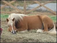 Le cheval dort plusieurs fois par jour.