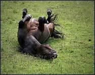 Dans la nature, le cheval aime rester de longues heures tranquille, sans bouger.