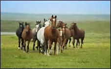 Dans la nature, le cheval vit en groupe.