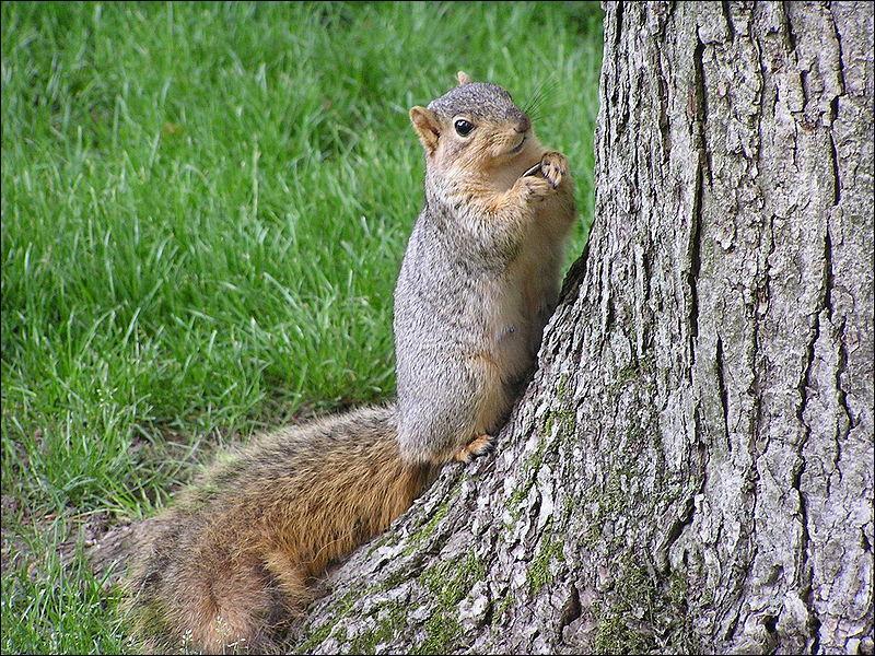 Quelle est l'espèce de cet écureuil?