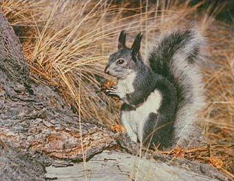 Les différentes espèces d'écureuils