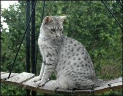 Ce chat peut être :