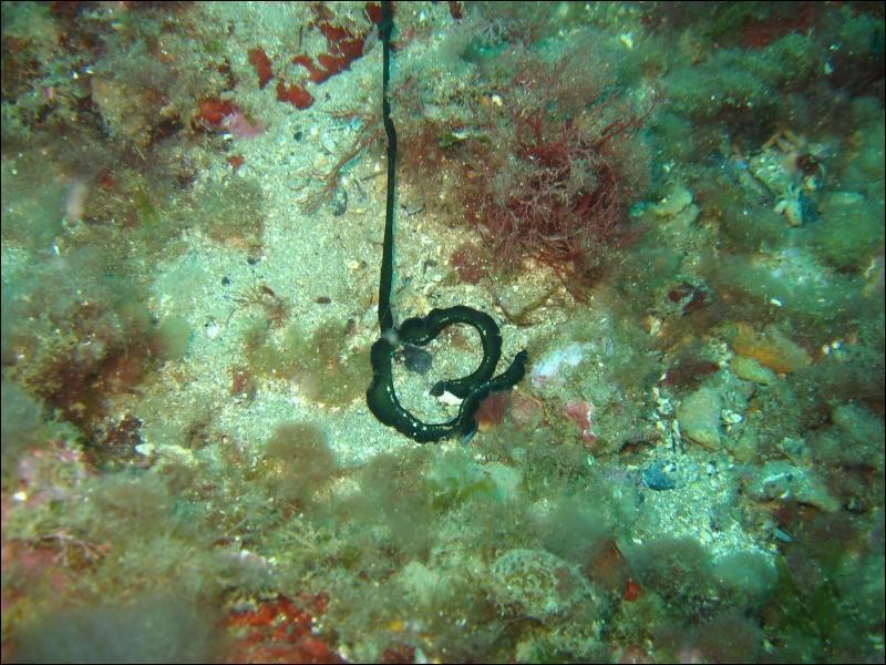 La bonellie verte est un ver marin d'environ un mètre de long qui vit enfoui dans le sable, la femelle a trouvé une façon originale de se reproduire !
