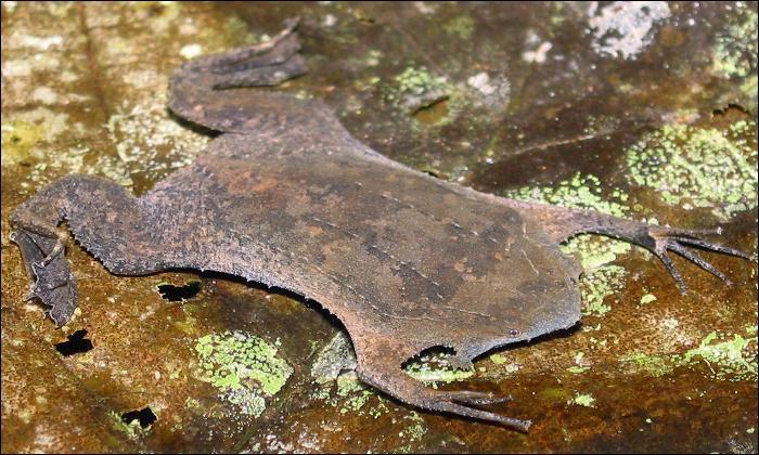 Cette grenouille est plate comme une limande, connaissez-vous son nom ?