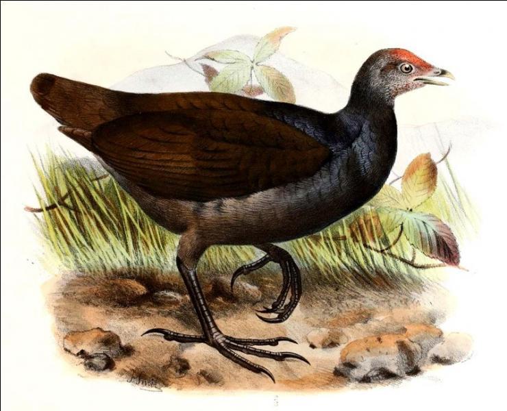 Le mégapode mélanésien est un oiseau très étonnant !