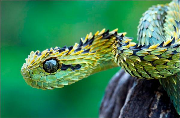 La plupart d'entre vous connaît le mamba noir ou vert, le taïpan du désert ou les serpents de mer dont le venin est très toxique, cette petite vipère africaine, l'athéris du bush, a aussi une particularité ...