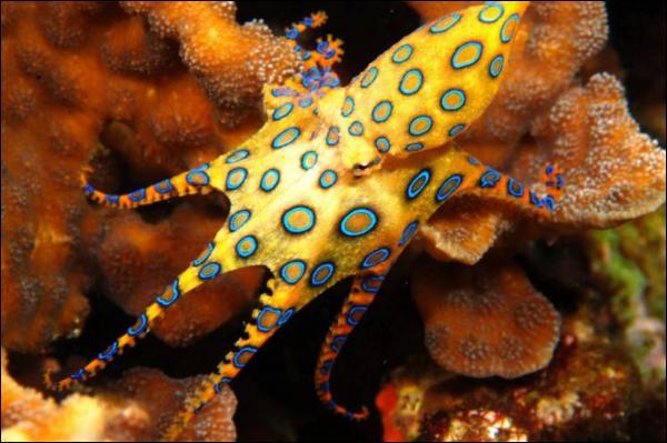 C'est une pieuvre minuscule et très jolie, la pieuvre à anneaux bleus, elle est tellement petite, 10 à 15 centimètres maximum, que vous ne risquez pas grand chose à la manipuler !
