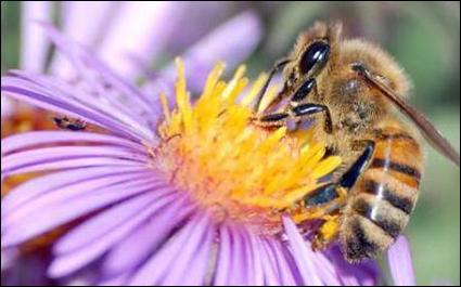 À partir de quel élément de la plante les abeilles fabriquent-elles le miel ?