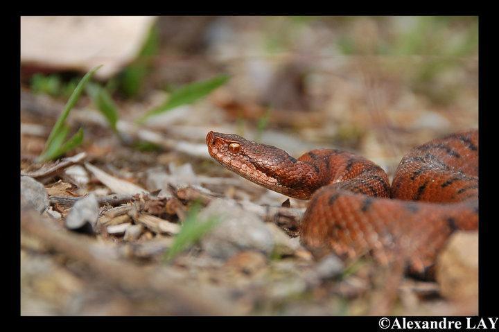 Ce serpent est une :