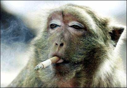En Indiana, il existe une loi qui concerne les singes !