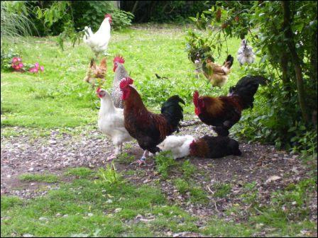 Si une poule se montre querelleuse quand vous allez lever les oeufs, qu'est-ce que va lui faire dire sa mauvaise foi ?