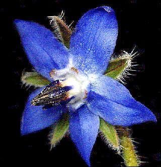 Comment s'appelle cette très jolie fleur dont certains font des tisanes ?