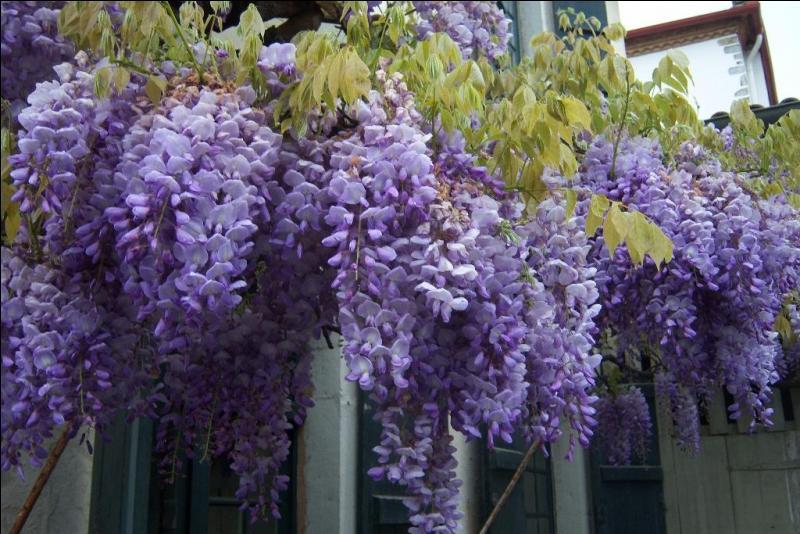 Quel est le nom de cette fleur si bien chantée par Jacques Brel ?