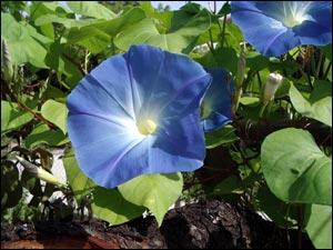 Quelle est cette jolie fleur dont le nom pourrait évoquer une voyelle perdue ?