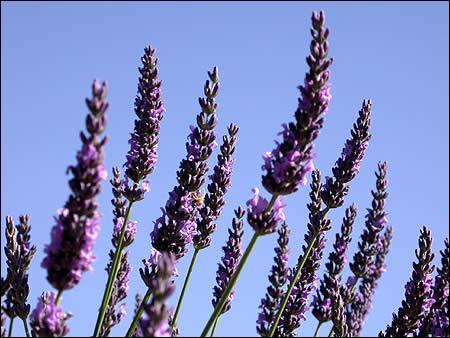Quelle est cette fleur à l'odeur sublime ?
