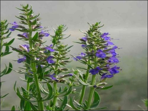 Quelle est cette fleur aromatique ?