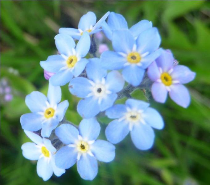 Comment s'appelle cette très jolie fleur des montagnes ?