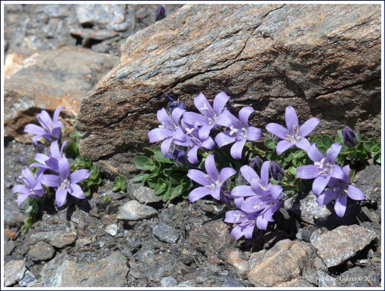 Quelle est cette fleur, qui évoque un col des Alpes ?