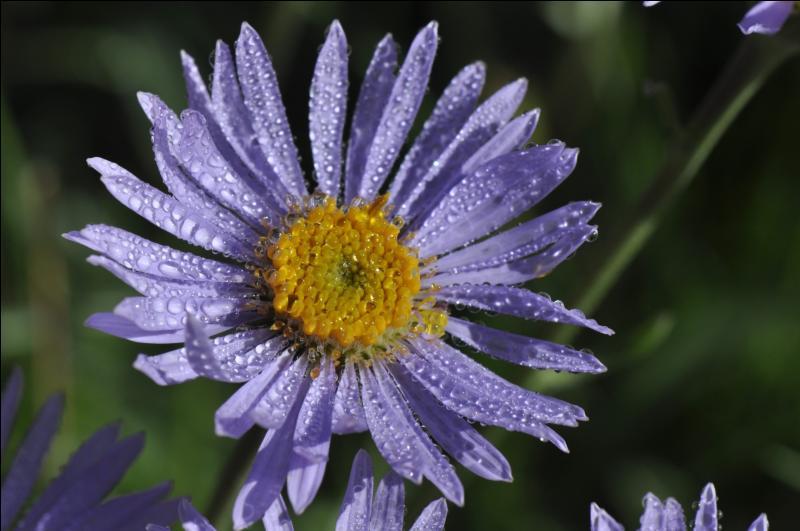 Comment s'appelle cette très jolie fleur en  étoile  ?