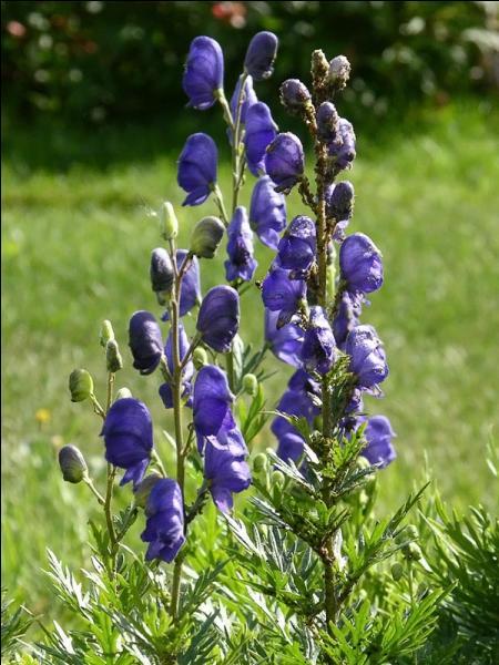 Quelle est cette fleur, qui contient un alcaloïde extrêmement toxique ?