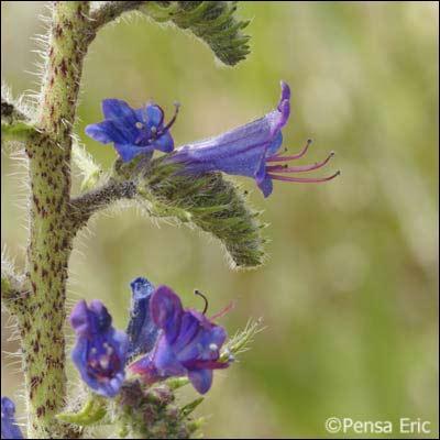 Quelle est cette fleur dont le nom évoque un animal piquant ?