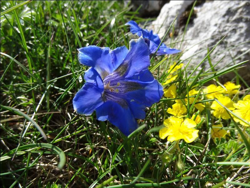 Comment s'appelle cette très jolie fleur qui pousse en Auvergne, entre autres ?