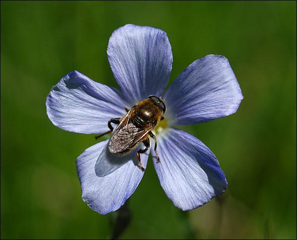 Quelle est cette fleur dont une espèce fournit un magnifique textile ?