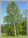 Comment s'appelle cet arbre à l'écorce blanche?