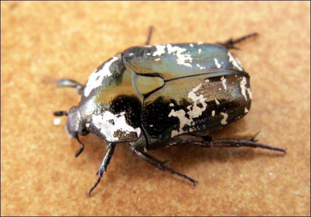 Et de cet insecte ?