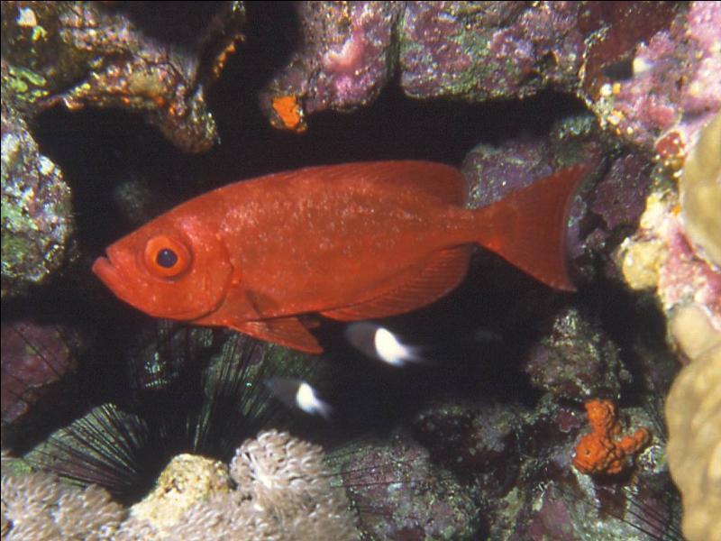 Quizz faune et flore en mer rouge quiz animaux mer for Poisson rouge gros yeux