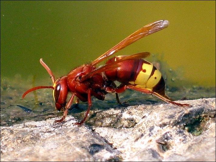 Cet insecte est une guêpe Pepsis.